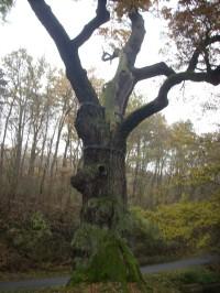Oldřichův dub
