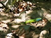 ještěrka zelená, 30 cm dlouhá