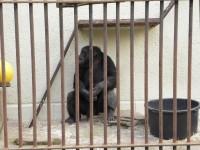 Osamocený šimpanz Fáben - ZOO Brno - 14.4.2012