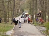 Lamy alpaka na procházce - ZOO Brno - 14.4.2012