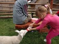 krmení ovečky