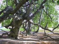 Buk lesní  zvaný Opičák v zámeckém parku