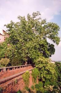 Památný platan na hradbách