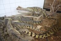 Velký Karlov - krokodýlí farma