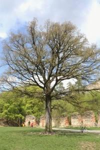 Hradní dub u boskovického hradu