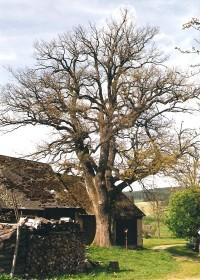 Pajkrův dub