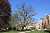 Lednice - památný strom