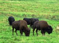 bizoni u Rožnova
