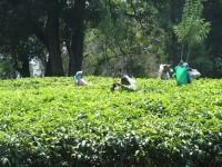 Čajové plantáže na Srí Lance /Ceylon/