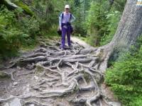 Povrchové kořeny