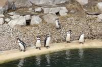 Zoo Plzeň, tučňáci