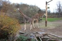 Zoo Plzeň, žirafy