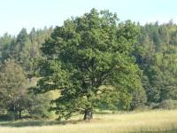 Chráněný dub u Nemilkova