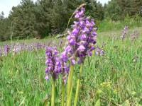 Ve Svatém Poli kvetou orchideje.