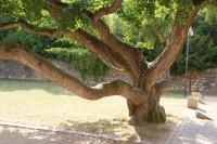 Boskovice – jinan dvoulaločný (ginkgo) u zámeckého skleníku