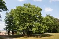 Boskovice – pohádkový strom v zámecké zahradě (líska turecká)
