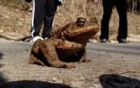 valašská žába