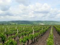 Vinohrady nad Kobylím, v pozadí Ždánický les