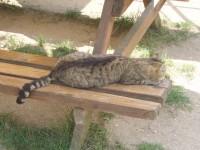 Kočka domácí, místní hlídač
