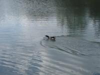 Ptactvo na rybníku u Panelky