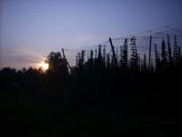 chmelové pole při východu slunce