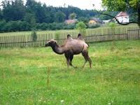 Začátek velbloudů v Čechách?