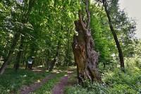 Chřiby: Ctiborův dub
