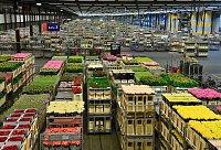Nizozemsko (6): Aalsmeer – největší (veřejnosti přístupná) květinová aukce na světě