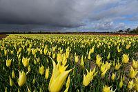 Kdy a kde kvetou v Nizozemsku tulipánová pole