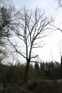 Památný dub u Svárovské hájovny