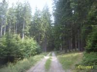na Vysočině jsou krásné smrkové lesy