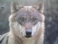 vlkzhor
