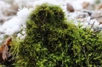 Boreč - zelený mech i v zimě