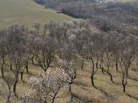 Hustopeče vítají jaro. Vínem i stovkami rozkvetlých mandloní