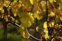 Foto: vinice v září; autor foto Pavel Zábrodský