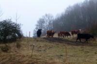 Zmní chlupatý krávy