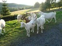 kozy na Popovské hoře