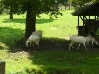 Přikrmování bílých jelenů