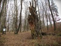 Chřiby - Ctiborův dub