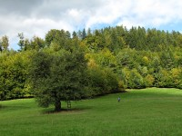 Držková - stará hruška