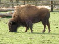 Vysoké Chvojno – výběh bizonů amerických