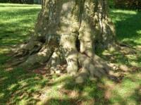Pata stromu