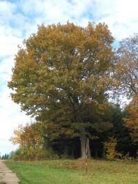 Dub na špičce lesa
