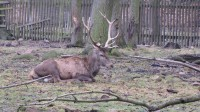 Jedinný jelen, kterého jsme viděli