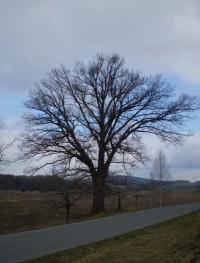 Třeština - památný strom hrdina - Mohelnicko