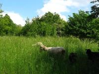 Ovce v parku Rochus