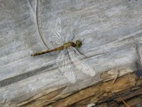 vážka na Chalupářské slati