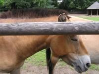 Slatiňany – chov koně Převalského