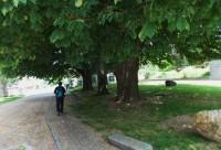 Památné stromy u kostela ve Zlatých Horách