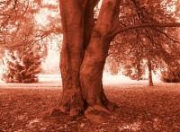 Červenolistý strom -  v parku Svobody  ve  Zlíně